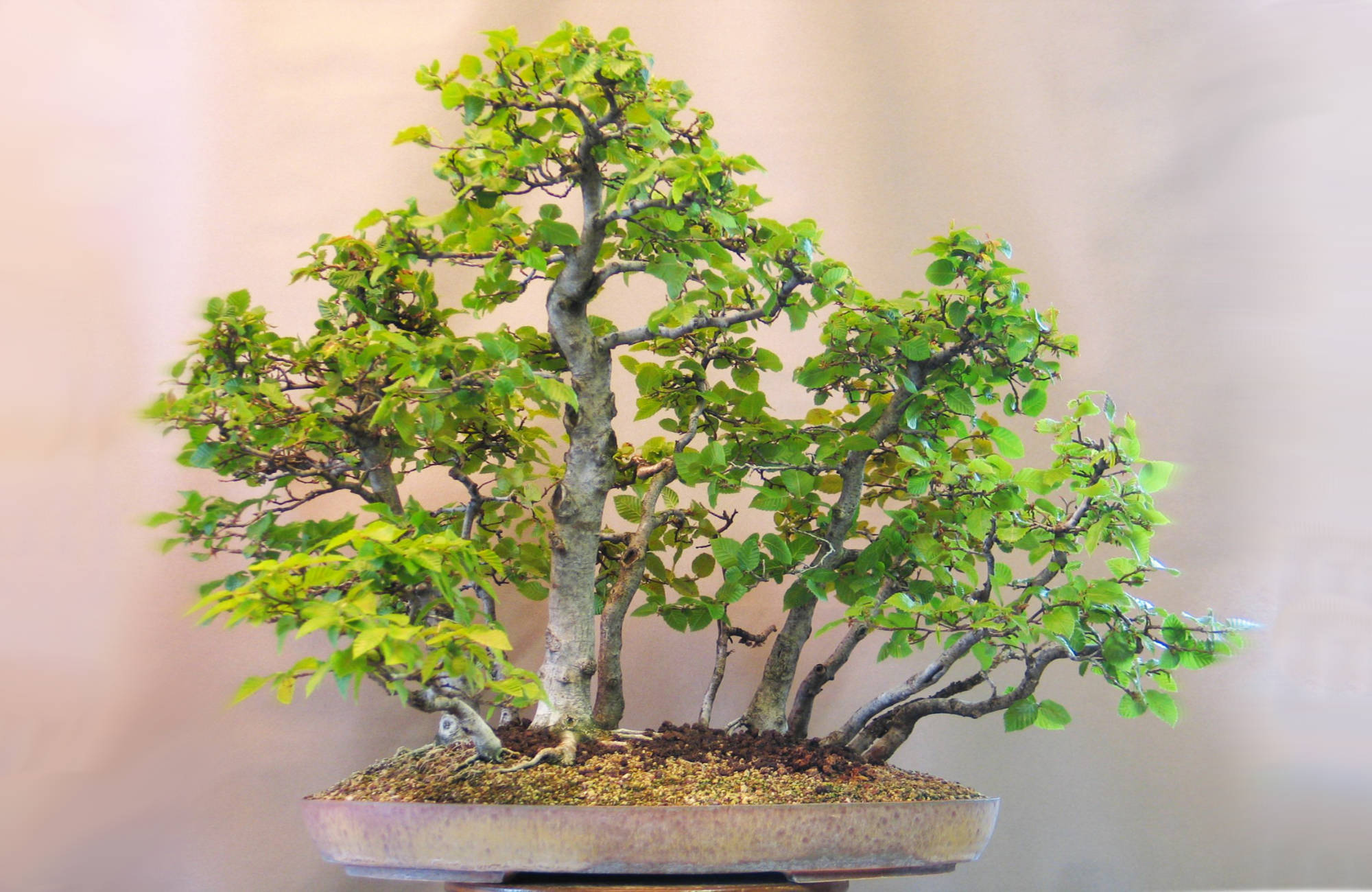 Quel pot à bonsai choisir pour son arbre ?