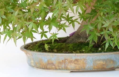 Quel pot à bonsai pour un érable ?