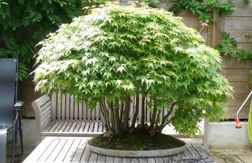 Quel pot à bonsai pour une forêt ?