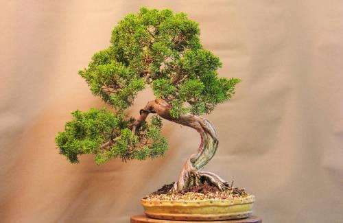 Quel pot à bonsai pour un genévrier ?