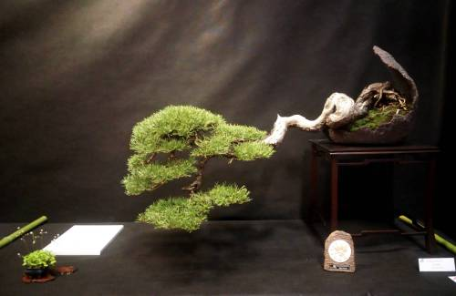 Quel pot à bonsai pour un pin ?