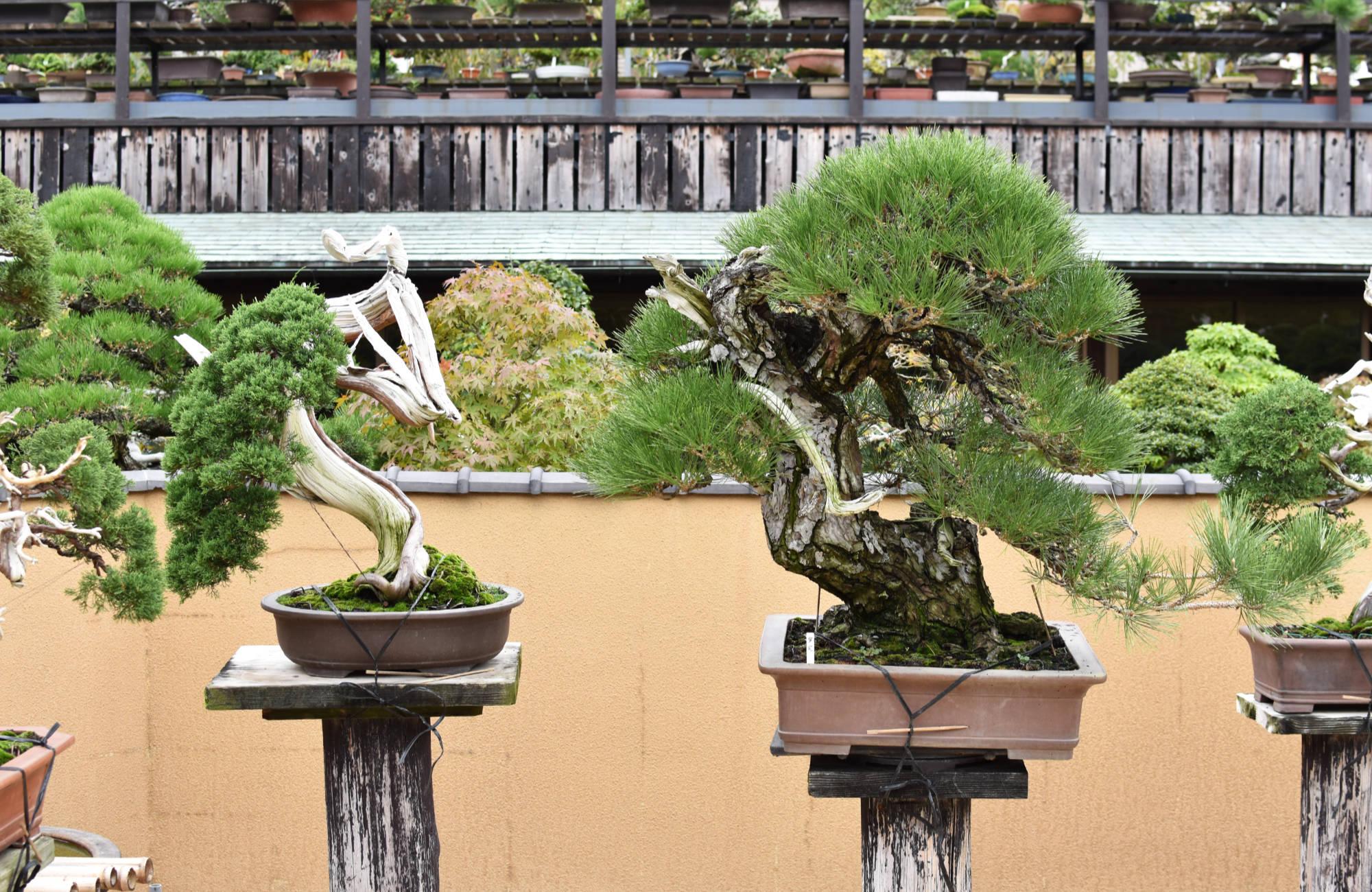 Les conifères sont quasiment toujours dans des poteries bonsai non émaillées